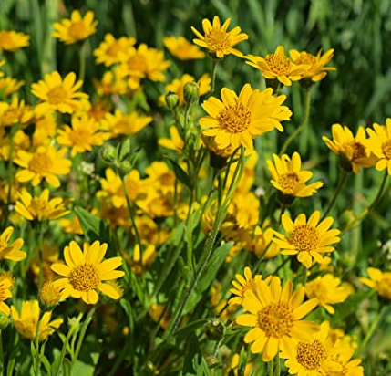 What is Arnica and Does Arnica Really Work?
